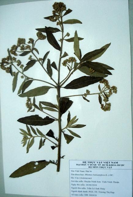 Tulsi 10.000 Graines Basilic sacré Ocimum Sanctum tenuiflorum